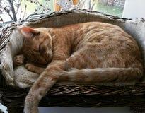 Ljust rödbrun katt sovande i korg Royaltyfria Bilder