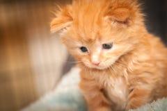 Ljust rödbrun kattunge Arkivbilder