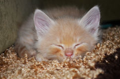Ljust rödbrun kattunge Royaltyfri Fotografi