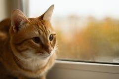 Ljust rödbrun kattunge Royaltyfria Foton