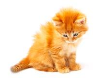 Ljust rödbrun kattunge Royaltyfria Bilder