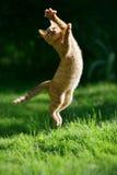 Ljust rödbrun kattunge Royaltyfri Bild