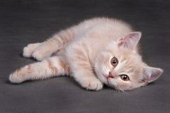 Ljust rödbrun kattungelögner arkivbild