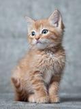 ljust rödbrun kattungetiger Arkivbild