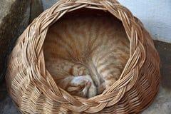 Ljust rödbrun ligga för katt som krullas upp i en korg royaltyfria foton