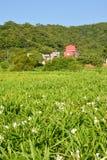 Ljust rödbrun liljalantgård Fotografering för Bildbyråer
