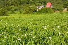 Ljust rödbrun liljalantgård Arkivfoto
