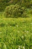 Ljust rödbrun liljalantgård Arkivfoton