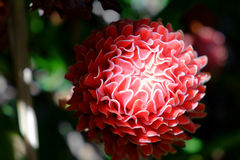 Ljust rödbrun lokal blomma för röd fackla Arkivfoton