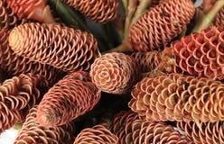ljust rödbrun name vetenskaplig speciosus för costusblomma arkivfoto