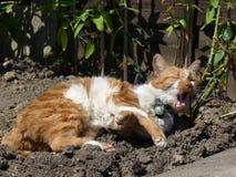 Ljust rödbrun och vita Cat Yawning i solen Royaltyfri Bild