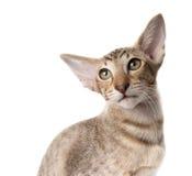 Ljust rödbrun orientalisk kattungenärbild för uppmärksam allvarlig strimmig katt som isoleras på vit Fotografering för Bildbyråer