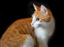 Ljust rödbrun röd inhemsk katt royaltyfria bilder
