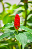 ljust rödbrun red för kräpp Royaltyfri Foto