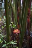 ljust rödbrun rosa fackla för elatioretlingera Arkivbild