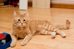 Ljust rödbrun strimmig kattkatt arkivbilder