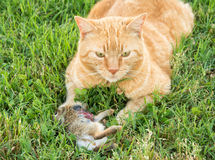 Ljust rödbrun strimmig kattkatt med en ung bomullssvanskaninkanin Royaltyfria Bilder