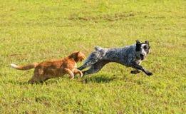 Ljust rödbrun strimmig kattkatt som jagar en ung hund i hög hastighet Royaltyfri Foto