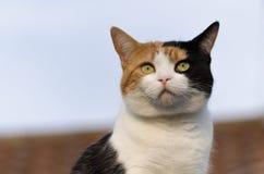Ljust rödbrun svartvit katt på taket Arkivfoto