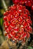 ljust rödbrun tapeinochiloswax för ananassae Arkivfoto