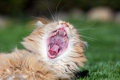 Ljust rödbrun gullig katt som öppnar den mycket stora munnen Arkivfoton