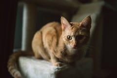 Ljust rödbrun kattstående Arkivfoton