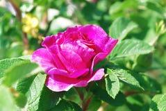 Ljust rosa färgblommanypon Royaltyfri Fotografi