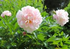Ljust - rosa pioner ljusnar upp trädgården i vår fotografering för bildbyråer