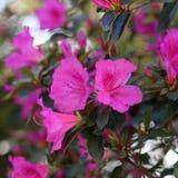 Ljust rosa växa för blommor upp i kullarna av madeiran arkivbild