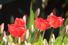 Ljust solsken för tulpan Arkivbild