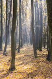 Ljust soluppgångljus i gul höstskog Royaltyfri Bild