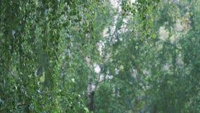 Ljust sommarregn bland björkträd stock video