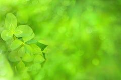 Ljust - suddig bakgrund för grön växt av släktet Trifolium Arkivbild