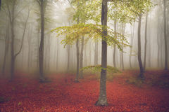Ljust träd i misten av skogen Arkivbild