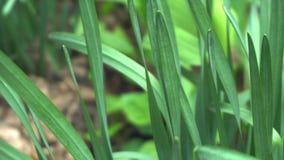 Ljust - vårtid för grönt gräs stock video