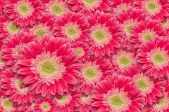 ljust vatten för pink för tusenskönadroppgerber Arkivbilder