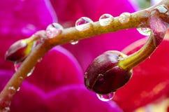 Ljust violetta knoppar av orkidér med små droppar av vatten arkivfoto