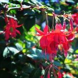 Ljuv fuchsia royaltyfri bild