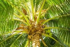 Ljuv kokosnöt Arkivbilder