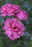 Ljuv rosa floribunda rosa Ramira i trädgården Blomma i vår, sommar Trädgårds- liggande Royaltyfri Fotografi