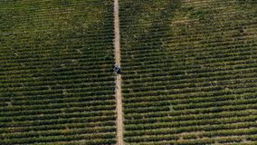 LKW unter Reihen des Weinbergs bevor dem Ernten Stockbilder