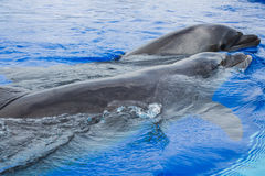 Dolphins. Ll bottlenose dolphins around the world were previously recognized as T. truncatus, but recently the genus has been split into two species: T stock photos