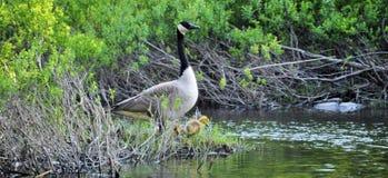 Ll de mamá Goose Foto de archivo