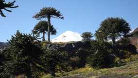 Llaima volcano. Between araucarias. Conguillio park, Chile Royalty Free Stock Image