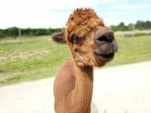 Llama έξω στοκ φωτογραφία με δικαίωμα ελεύθερης χρήσης