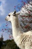 Llama ή glama λάμα στοκ εικόνα