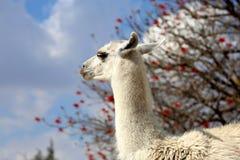Llama ή glama λάμα στοκ φωτογραφία με δικαίωμα ελεύθερης χρήσης