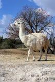 Llama ή glama λάμα στοκ φωτογραφίες με δικαίωμα ελεύθερης χρήσης