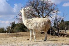 Llama ή glama λάμα στοκ εικόνες με δικαίωμα ελεύθερης χρήσης