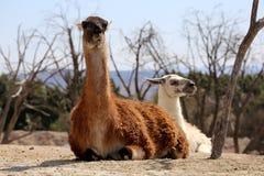 Llama ή glama λάμα στοκ φωτογραφίες